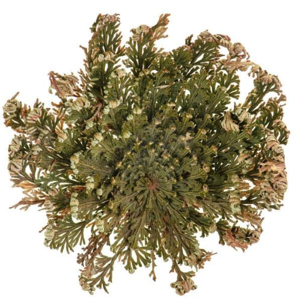 Jerikon ruusu (Rose of Jericho)